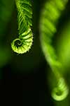 Close up fern fronds unfurling