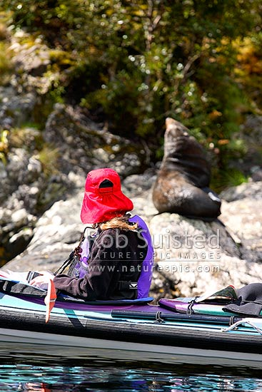 Wilderness sea kayakers viewing New Zealand Fur Seal (Arctocephalus forsteri, family: Otariidae) on rocks, Doubtful Sd, Fiordland National Park, Doubtful Sound, Fiordland, Southland District, Southland Region, New Zealand (NZ) stock photo.
