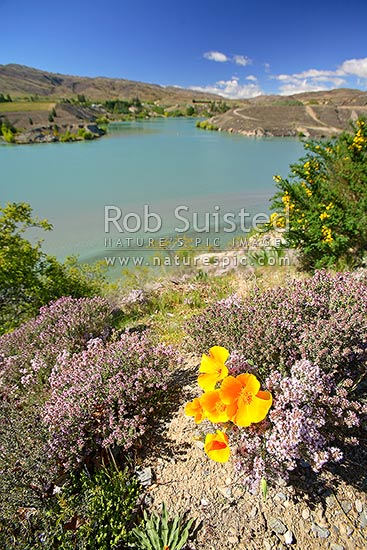 Lake Dunstan and flowering weed plant pests- Wild thyme (Thymus vulgaris), Californian poppy (Eschscholzia californica) gorse (Ulex europaeus), Cromwell, Central Otago District, Otago Region, New Zealand (NZ) stock photo.