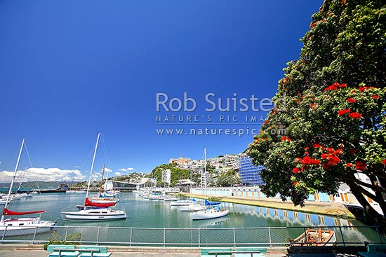 Yachts in Clyde Quay Boat Harbour Marina, Wellington waterfront, with flowering native Pohutukawa tree (Metrosideros excelsa) in foreground, Wellington, Wellington City District, Wellington Region, New Zealand (NZ) stock photo.