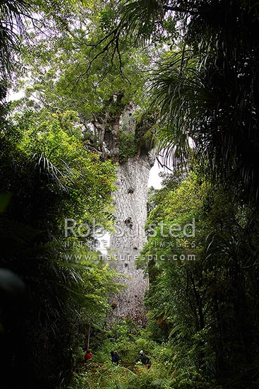 Tourists visiting 'Tane Mahuta' - largest Kauri tree in world. 50m high/13.7m girth/1500 y.o. (Agathis australis). Waipoua Forest. Tourists at base of tree, Waipoua, Far North District, Northland Region, New Zealand (NZ) stock photo.