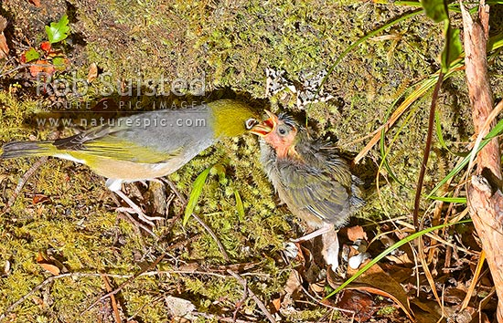 Silver eye / wax eye / White eye bird (Zosterops lateralis) young chick fledging being fed by adult outside of nest, New Zealand (NZ) stock photo.