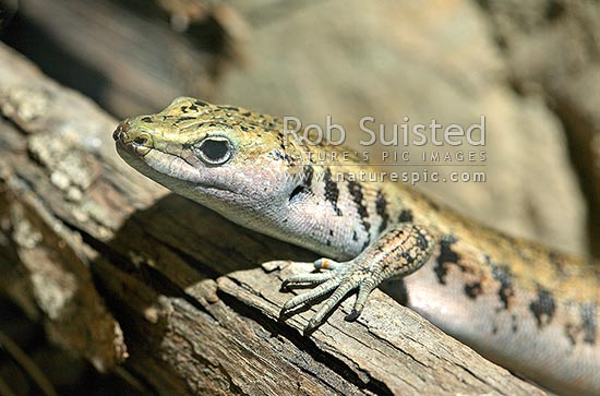 Native NZ threatened Scree Skink (Oligosoma waimatense, Scincidae) lizard (Maori name: mokomoko ). Peeping over log, New Zealand (NZ) stock photo.
