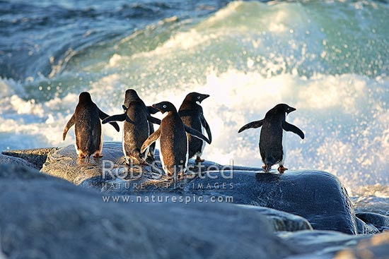 Adelie penguins, adult group about to enter the sea near rookery (Pygoscelis adeliae), Antarctica coast, Commonwealth Bay, George V Land, Antarctica stock photo.