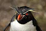 Rock Hopper penguin close-up