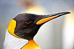 King penguin profile close up