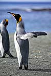 King Penguins stretching flippers