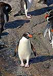 A Snares crested penguin