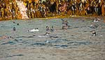 Snares crested penguins swimming