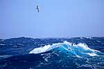 Wandering albatross over ocean