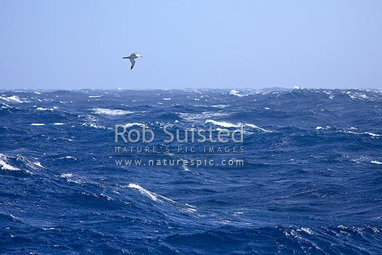 Wandering Albatross flying and soaring over the southern ocean swell and waves (Diomedea exulans: Diomedeidae). Other small seabirds, prions, petrels and shearwaters, Southern Ocean, Antarctica stock photo.