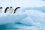 Penguins on iceberg ready to jump