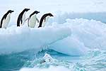 Penguins prepare to jump into sea