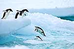Adelie penguins jumping into sea