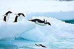 Penguins diving from ice to sea