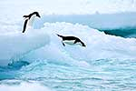 Penguins jumping from ice to sea