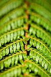 Tree fern leaves