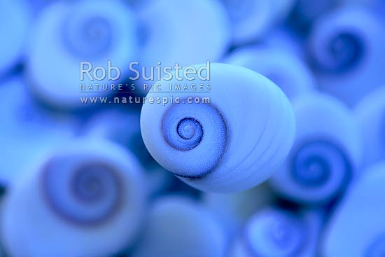 Spiral patterned 'catseye shells' - mollusc operculum, or foot-closure of a sea-snail. Cold blue colour, New Zealand (NZ) stock photo.
