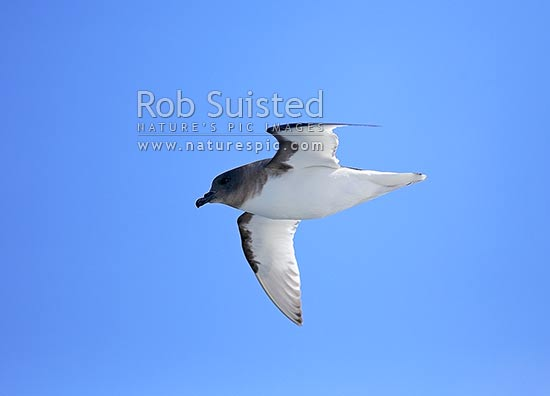 Antarctic Petrel bird flying (Thalassoica antarctica, Procellariidae), Ross Sea, Antarctica stock photo.