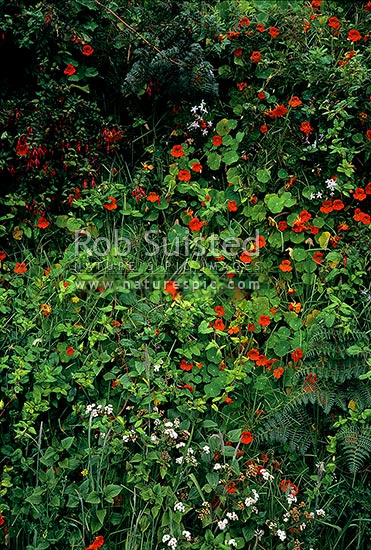 Wild flowers and mixture of weeds (plant pests) Nasturtium, fuchsia, and honeysuckle flowers etc growing on bank, Far North District, Northland Region, New Zealand (NZ) stock photo.