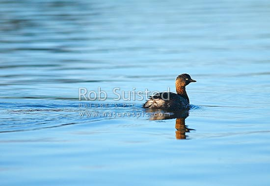 New Zealand Dabchick or Weweia bird on water (Poliocephalus rufipectus, Podicipedidae), New Zealand (NZ) stock photo.