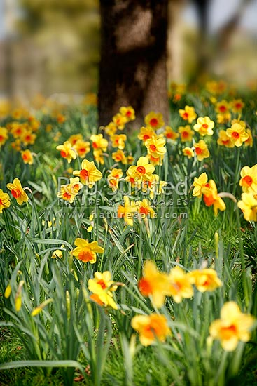 Spring bulbs - flowering daffodils, New Zealand (NZ) stock photo.