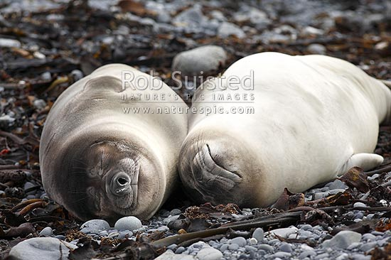 A pair of juvenile Southern elephant seals (Mirounga leonina) lying together on a beach, Macquarie Island, NZ Sub Antarctic District, NZ Sub Antarctic Region, Australia stock photo.
