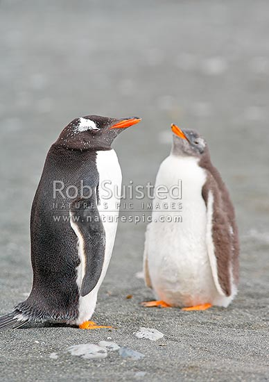 Adult Gentoo Penguin and chick (Pygoscelis papua), Macquarie Island, NZ Sub Antarctic District, NZ Sub Antarctic Region, Australia stock photo.
