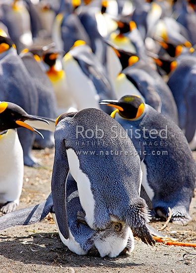 King Penguins mating in colony (Aptenodytes patagonicus), Macquarie Island, NZ Sub Antarctic District, NZ Sub Antarctic Region, Australia stock photo.