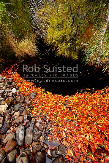 Red orange and yellow dead Southern Rata leaves pooled in dark tanin stained water of creek mouth (Metrosideros umbellata), Auckland Islands, NZ Sub Antarctic District, NZ Sub Antarctic Region, New Zealand (NZ) stock photo.