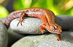 NZ native Ornate Skink