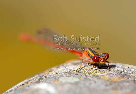 NZ Native redcoat Damselfly (Xanthocnemis zealandica) on streamside rock, New Zealand (NZ) stock photo.