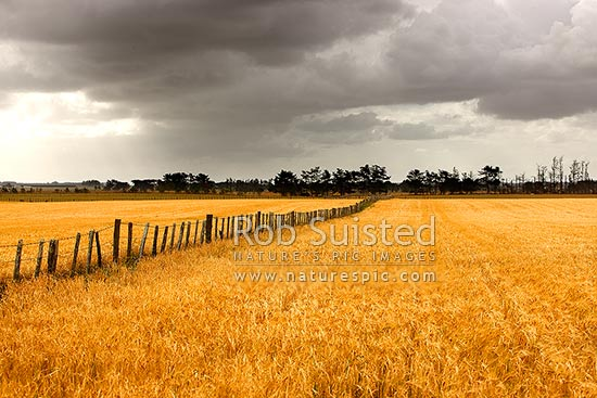 Wheat or barley grain field growing under heavy moody approaching rain clouds, Foxton, Horowhenua District, Manawatu-Wanganui Region, New Zealand (NZ) stock photo.