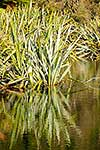Native flax in wetland area