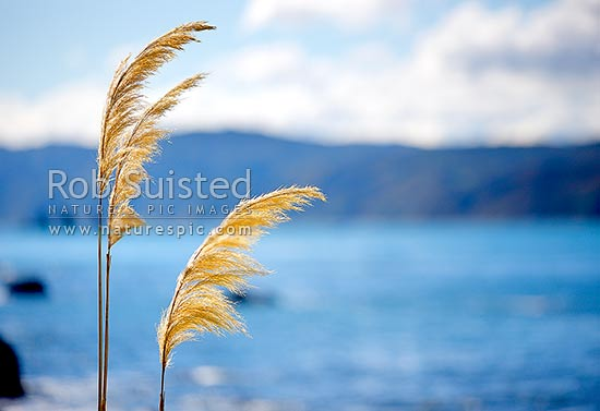 Native Toetoe flower fronds on the coast with sea behind (Cortaderia sp.). Toi-toi, Toitoi, Toe-toe, New Zealand (NZ) stock photo.