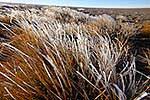 Frosty Tussock Grass