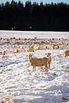 Sheep foraging in snowy paddock