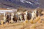 Merino Rams in tussock country
