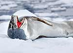 Large male leopard seal on snow