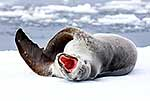 Large yawning female leopard seal