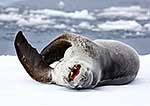 Large female leopard seal resting