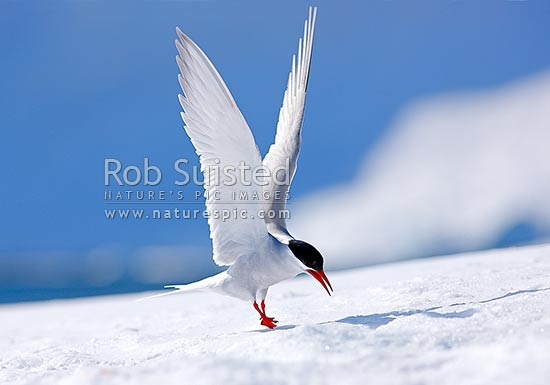 Antarctic Tern bird landing on snow (Sterna vittata, Charadriiformes, Sternidae); adult breeding plummage, Antarctic Peninsula, Antarctica Region, Antarctica stock photo.
