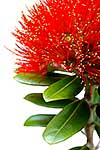 Native NZ Pohutukawa in bloom