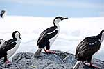 Imperial shags resting on rocks