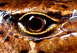 McGregor's skink eyeball & scales