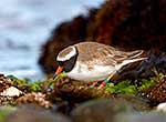 NZ Shore plover bird