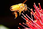 Honey bee on Pohutukawa flowers