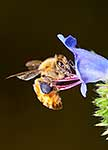 Bee on Blue Borage flower