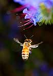 Honey bee on blue borage flowers