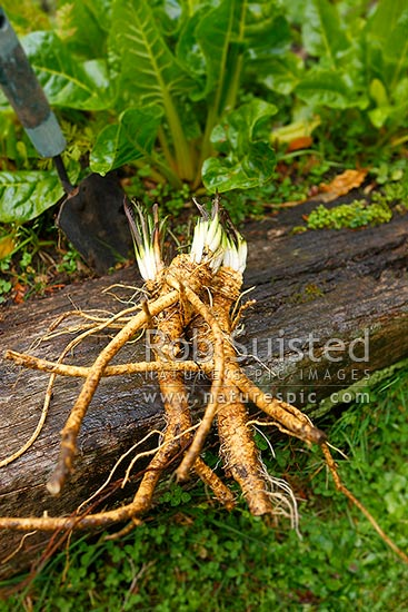 Horseradish Plant And Roots Freshly Dung From Home Cottage